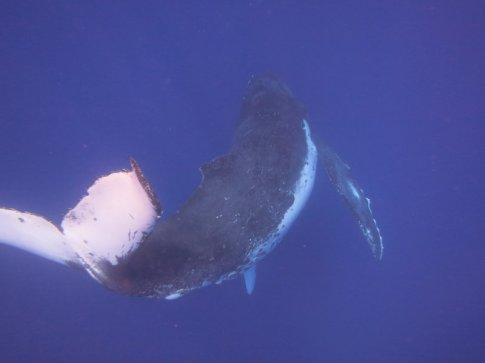 Humpback whale 10