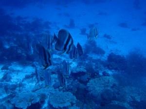 Batfish at Beyru Ha Thila