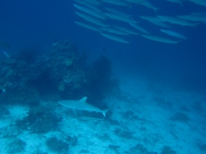 Barracuda & Gray reef shark