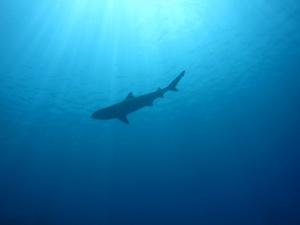 Shark corner