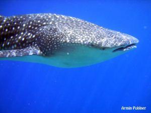 whale shark 横顔