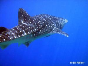 whale shark 斜め後ろ