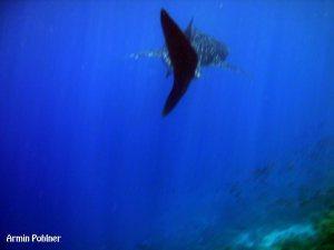 whale shark 後ろ姿