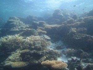 ウミガメとサンゴ礁