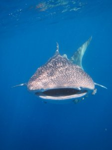 Whaleshark Front