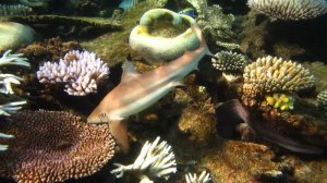 Black tip shark 3