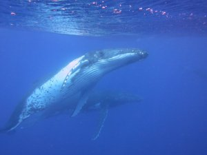 humpback whale 1