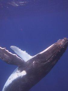 humpback whale 3
