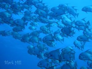 Blackhill spadefish