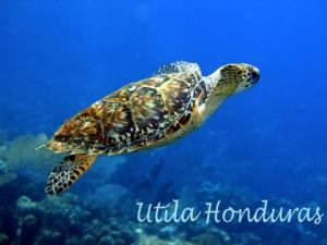 Hawksbill turtle/タイマイ